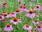 Лікарські рослини в нашому житті. Ехінацея.