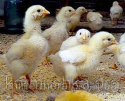 Плотность посадки цыплят бройлеров и несколько рекомендаций по содержанию