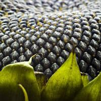 Семена подсолнечника Маисадур МАС 83 Р
