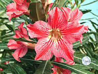 Адениум Star of Happiness семена