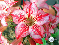 Адениум семена Star of Hope