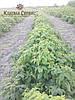 Саженцы малины сорт Полана