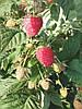 Саженцы малины сорт Зюгана