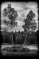 Пейзаж з берізками