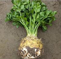 ПРЕЗИДЕНТ - насіння селери кореневої, 10 000 насінин, Rijk Zwaan
