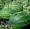 Семена арбуза Варда F1 1000сем. Никерсон цваан.