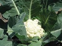 Семена цветной капусты Ливингстон F1 2500 сем.Сингента.