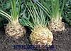 Семена сельдерея Илона 10000 сем. Бейо заден.