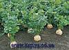 Семена сельдерея Диамант 10000 сем. Бейо заден.