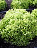 Семена салата Касабелла 10 грамм.Семинис.