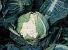 Семена капусты цветной Кортес F1 2500 сем. Сингента.