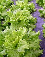 Салат листовой Хагин 10 грамм.Семинис.