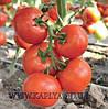 Семена томата Чинто F1 1000 сем. Рийк цваан.