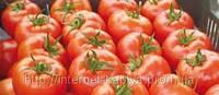 Семена томата Силует F1 500 сем. Сингента.