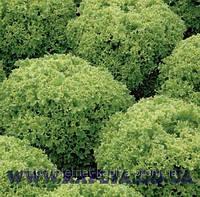 Семена салата Левистро 1000 сем.Рийк цваан.