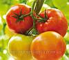 Семена томата Гродена F1 500 сем. Сингента.