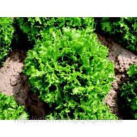 Семена салата Канкан 5г. Nickerson-Zwaan