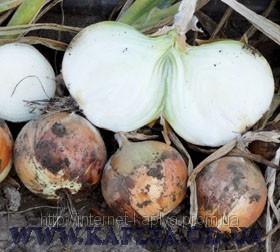 Семена лука Панчер F1 100000 сем. Ларк сидс - Интернет магазин капельного орошения «КАПЛЯ» в Одесской области