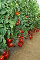 Семена томата Мишель F1 1000 сем.Саката.