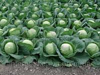 Семена капусты  Лемма 1000 сем.Рийк цван.