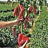 Семена перца 35-505 RZ F1 1000 сем. Рийк цваан.