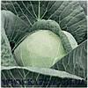 Семена капусты Адема калиброванное. 1000 сем. Рийк цваан.