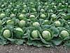 Семена капусты  Лемма 2500 сем.Рийк цван.