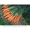 Морковь Каротан F1 50 гр. Рийк Цваан.