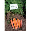 Морковь Краков  F1 (калибр<1.6)   100 000 сем. Рийк Цваан.