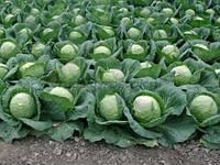 Семена капусты  Лемма калиброванное. 100 сем. Рийк цван.