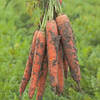 Морковь Трафорд F1 (калибр>1.6)   1 000 000 сем. Рийк Цваан.