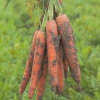 Морковь Трафорд F1 (калибр 1,4-1,6)   100 000 сем. Рийк Цваан.