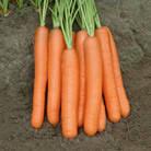 Морковь Морелия F1 (калибр 1,6-1,8)   1 000 000 сем. Рийк Цваан.