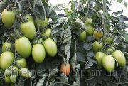 Семена томата Грандеро F1 250 сем. Enza Zaden