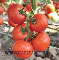 Семена томата Чинто F1 100 сем. Рийк цваан.