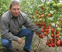Семена томата Берил F1 100 сем. Рийк цваан.