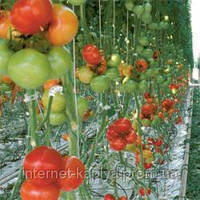 Семена томата Камри F1 1000 сем. Рийк цваан.