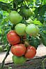 Семена томата Ралли F1 500 сем. Enza Zaden