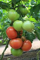 Семена томата Ралли F1 500 сем. Enza Zaden Organic