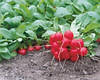 Семена редиса Ирен 250 гр. Рийк цваан.