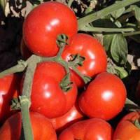 Семена томата Танжер F1. 1000 сем. Enza Zaden