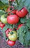 Семена томата Демироса F1 500 сем. Enza Zaden
