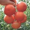 Семена томата Лилос F1 100 сем. Рийк цваан.