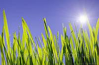 Семена газонной травы Быстрорастущая 1 кг. RAGT