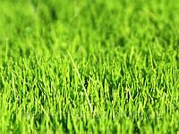 Семена газонной травы Декоративная 1 кг. RAGT