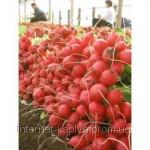 Семена редиса Селеста F1 100 гр. Enza Zaden Organic - Интернет магазин капельного орошения «КАПЛЯ» в Одесской области