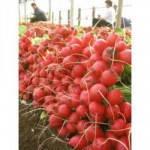 Семена редиса Селеста F1 50000 сем. (калибр 2,75 - 3 мм) Enza Zaden