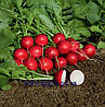 Семена редиса Ровер F1 2,50 – 2,75 5000 сем. Бейо заден.