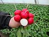 Семена редиса Диего F1 25 000 сем. калибр. Никерсон-Цваан