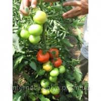 Семена томат Опера F1 1000 сем. Никерсон-Цваан